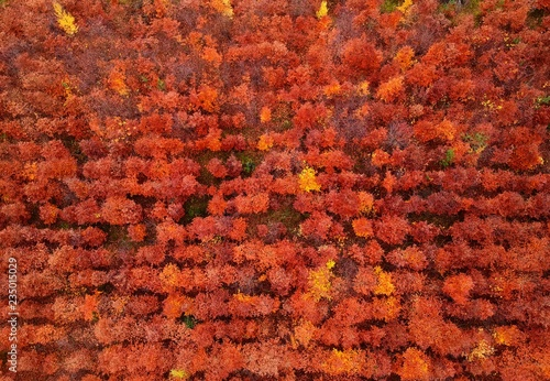 Rouge traffic Aerial view on red autumn forest trees grown by human in straight lines.
