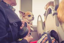 A Chihuahua Riding The Bus