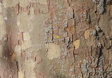 London Plane Tree Bark