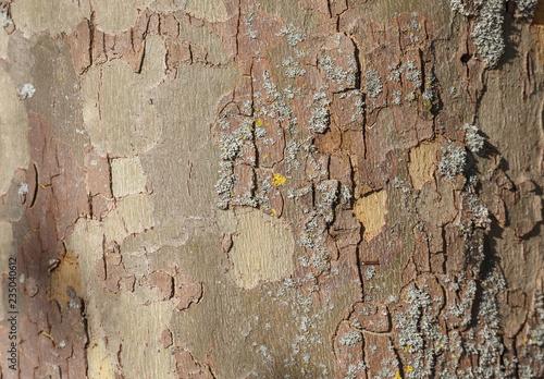 Foto auf AluDibond Alte schmutzig texturierte wand London plane tree bark