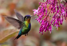 Fiery-throated Hummingbird In ...