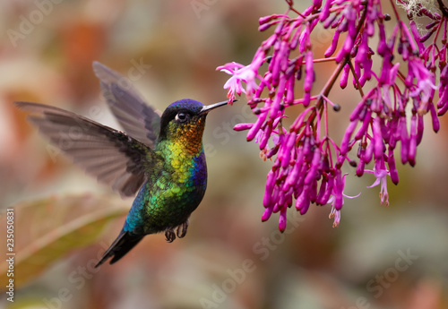 Fotografie, Obraz Fiery-throated Hummingbird in Costa Rica