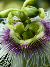 Close Up Of A Flower From A Passionfruit Vine