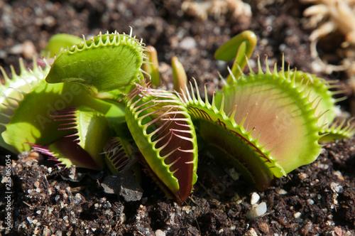 Carta da parati Sydney Australia, Venus flytrap with traps in various open positions