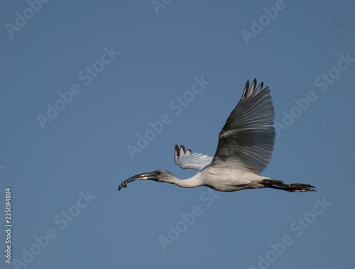 Photo  Black-headed ibis (Threskiornis melanocephalus)