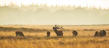 Herd Of Red Deer Cervus Elaphu...