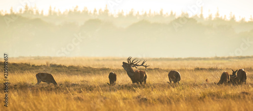 Fotobehang Hert Herd of red deer cervus elaphus rutting and roaring during sunset