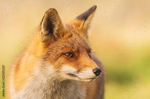 Fotografie, Obraz  Wild red fox Vulpes Vulpes close-up