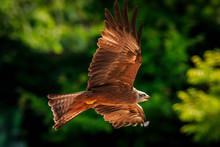 Black Kite Milvus Migrans In Flight Hunting