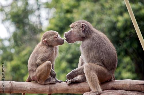 Foto op Aluminium Aap two young baboons