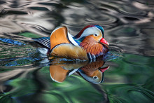 Mandarin Ducks Are Swimming In...