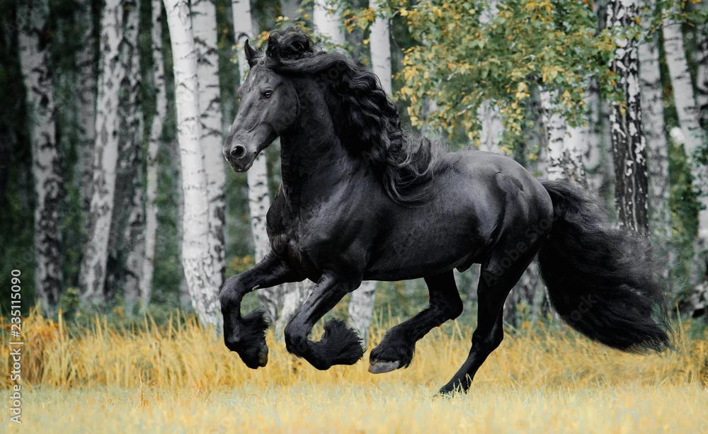 Fototapeta Friesian horse