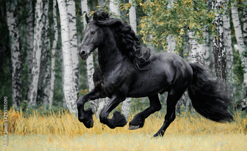 Photographie Friesian horse