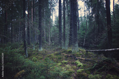 Foto auf Gartenposter Wald Thick spruce forest with young Christmas trees and mossy ground