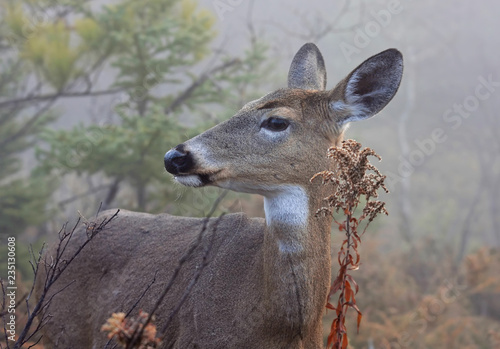 Obraz na plátne White-tailed deer closeup walking through the foggy woods during the rut in autu