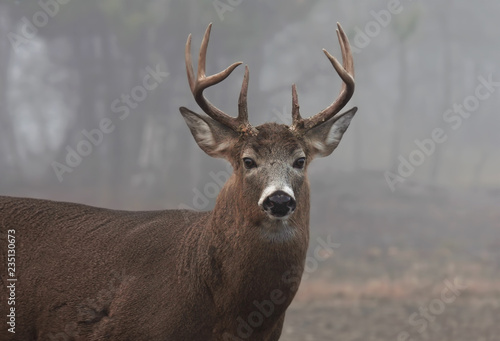 Recess Fitting Deer White-tailed deer buck closeup with huge neck walking through the foggy woods during the rut in autumn in Canada