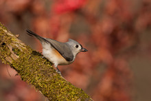 Tufted Titmouse Taken In South...