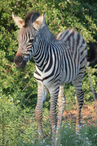 Tuinposter Zebra Baby Zebra in African Savannah
