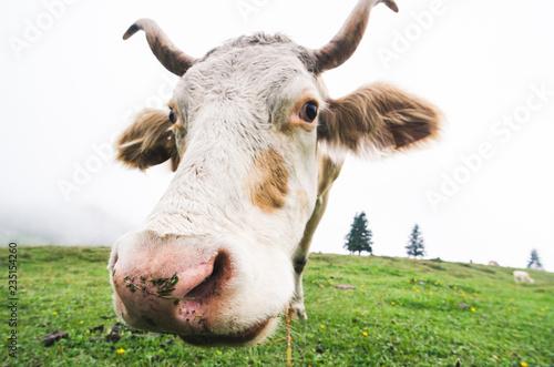 Fotografie, Obraz  Funny fisheye shot of a grazing cow
