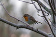 Robin on branch in a wintry atmosphere.
