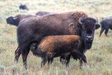 Buffalo Calf Nursing