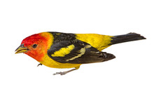 Male Western Tanager Bird (Ech...