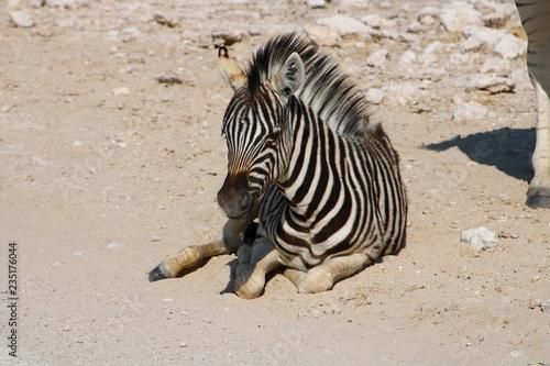 Tuinposter Zebra zebra on beach