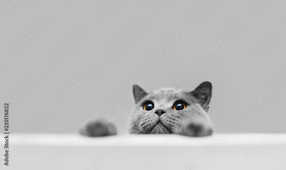 Fototapeta Playful grey purebred cat peeking out.