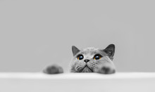 Playful Grey Purebred Cat Peek...