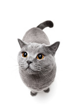 British Shorthair Cat On White Background.