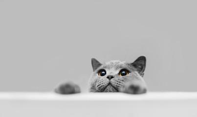 Razigrana siva čistokrvna mačka koja viri.