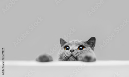 Fototapeta Playful grey purebred cat peeking out. obraz