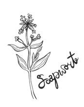 Hand Drawn Soapwort Flower
