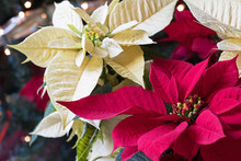 Close Up Christmas Photograph Of Red And White Poinsettias