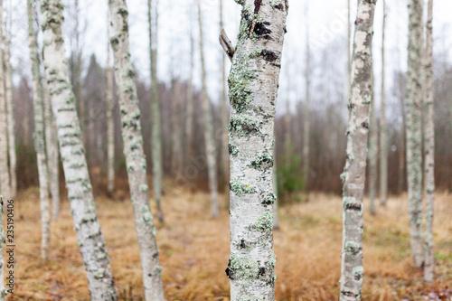 Birch forest landscape in Finland at autumn