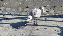 Seagull Breaking Open Mussel S...
