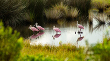 The Roseate Spoonbill Is An Un...