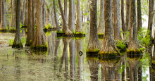 Smooth Water Reflects Cypress ...