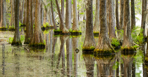 Photo Smooth Water Reflects Cypress Trees in Swamp Marsh Lake