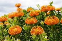 Leucospermum Cordifolium (common Orange Pincushion Protea), Western Cape, South Africa
