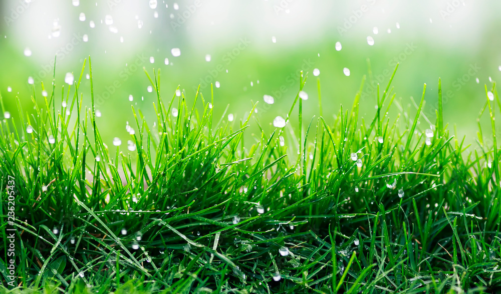 Fototapeta natural background of green fresh grass covered with water droplets during rain in spring garden