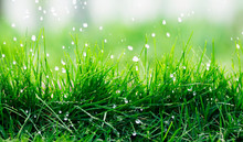 Natural Background Of Green Fresh Grass Covered With Water Droplets During Rain In Spring Garden