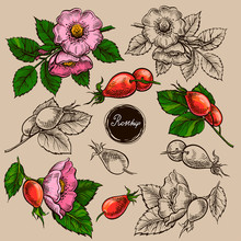 Vector Set Of Rosehip S Flowers, Hand Drawn Illustration Of Wild Roses