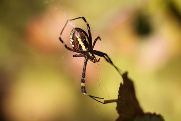 The Spider, who weaves the network, on a blurry background of uncertain color.