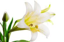 Easter Lily (Lilium Longiflorum)