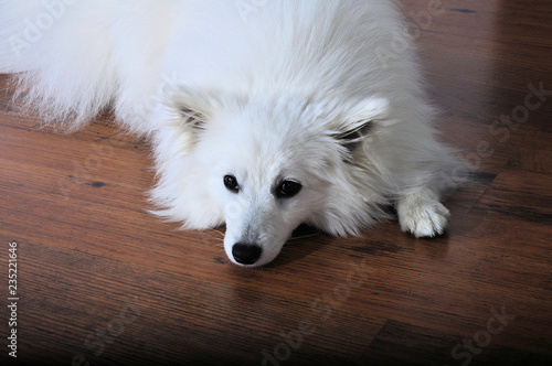 Valokuvatapetti Chien Spitz japonais blanc couché sur un parquet en bois - triste et seul