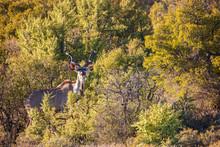 South Africa, Rooiberg, Greater Kudu, Tragelaphus Strepsiceros