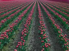 USA, Washington State, Skagit Valley, Tulip Field