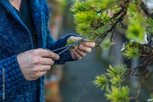 Young man pruning japanese bonsai tree.