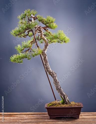 Bonsai tree in pot on grey background.